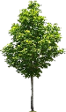 Memorial Tree Program Option: Maple - Choose from: Red Maple or Sugar Maple