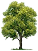 Memorial Tree Program Option: Oak - Choose from: Pin Oak or Willow Oak